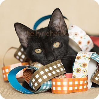 Domestic Shorthair Kitten for adoption in Oviedo, Florida - Jade