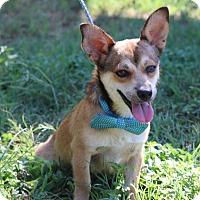 Dachshund/Terrier (Unknown Type, Small) Mix Dog for adoption in Olympia, Washington - Pedro