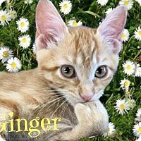 Adopt A Pet :: Ginger Spice - Tucson, AZ