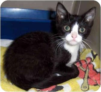 Domestic Shorthair Kitten for adoption in Overland Park, Kansas - Bootsie