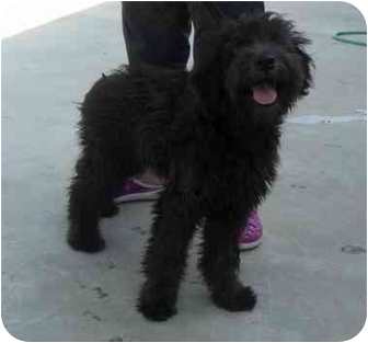Poodle (Standard)/Schnauzer (Miniature) Mix Dog for adoption in New Kent, Virginia - Poodle mix
