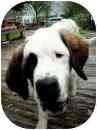 St. Bernard Puppy for adoption in Wilmington, North Carolina - Ferdinand