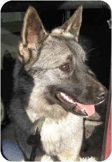 Norwegian Elkhound Dog for adoption in Columbus, Nebraska - Meesha