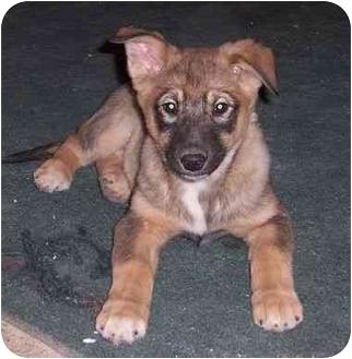 Alaskan Malamute/German Shepherd Dog Mix Puppy for adoption in Rochester/Buffalo, New York - Hannah