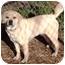 Photo 2 - Pug/Labrador Retriever Mix Dog for adoption in Osseo, Minnesota - Parker