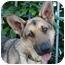 Photo 3 - German Shepherd Dog Dog for adoption in Los Angeles, California - Stella von Bremen
