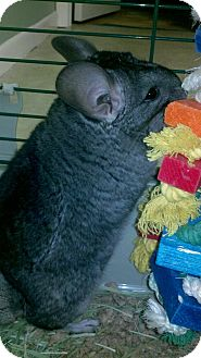 Chinchilla for adoption in Lindenhurst, New York - Ami
