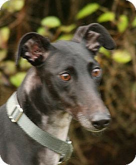Greyhound Puppy for adoption in Portland, Oregon - Baylee