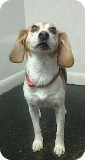 Beagle Mix Dog for adoption in Lexington, Kentucky - LuLu