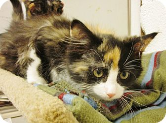 Calico Kitten for adoption in Beacon, New York - Calicokittens