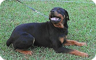 Rottweiler Mix Dog for adoption in Frederick, Pennsylvania - Nigel