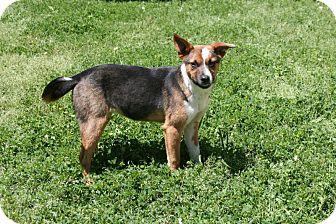 Catahoula Leopard Dog/Beagle Mix Dog for adoption in Lufkin, Texas - Kerosene