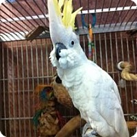 Cockatoo for adoption in Northbrook, Illinois - Honey