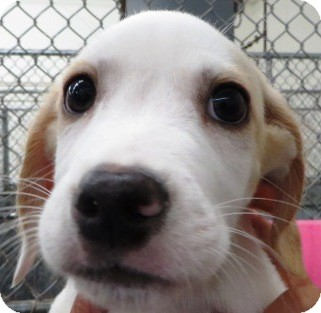 Labrador Retriever/Hound (Unknown Type) Mix Puppy for adoption in Kalamazoo, Michigan - (X-Men) Erik