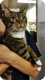 Domestic Shorthair Cat for adoption in Freeport, New York - Elsa