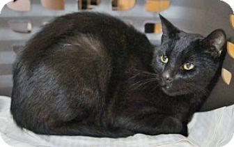 Domestic Shorthair Cat for adoption in Medford, Massachusetts - Starry Night