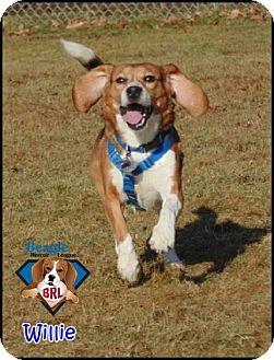 Beagle Dog for adoption in Yardley, Pennsylvania - Willie