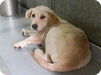 Labrador Retriever Mix Puppy for adoption in Tyner, North Carolina - Jane