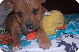English Bulldog/Boxer Mix Puppy for adoption in MILWAUKEE, Wisconsin - THOMAS and TATE