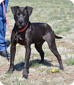 Retriever (Unknown Type) Mix Dog for adoption in Larned, Kansas - Bruno
