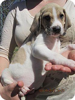 Foxhound/Catahoula Leopard Dog Mix Puppy for adoption in Rutherfordton, North Carolina - Ringo