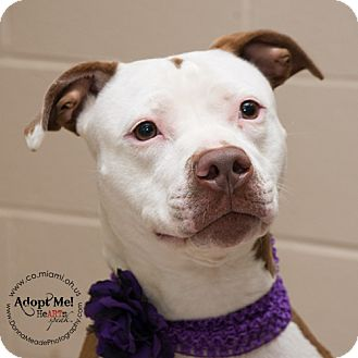 Pit Bull Terrier Dog for adoption in Troy, Ohio - Lily