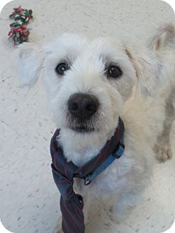 Westie, West Highland White Terrier Mix Dog for adoption in Chambersburg, Pennsylvania - Hobbes