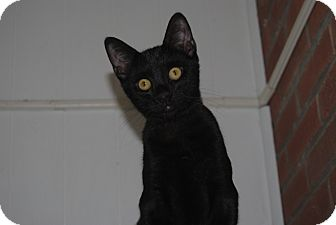 Domestic Shorthair Kitten for adoption in Middletown, New York - Donovan