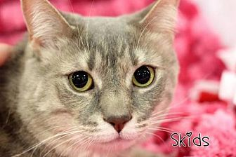 Domestic Shorthair Cat for adoption in Knoxville, Tennessee - Skidds & Tuxe (bonded pair) (Sponsored Free)