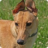 Adopt A Pet :: Callie - Portland, OR