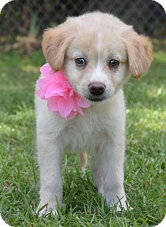 Labrador Retriever/Golden Retriever Mix Puppy for adoption in Glastonbury, Connecticut - Blossom