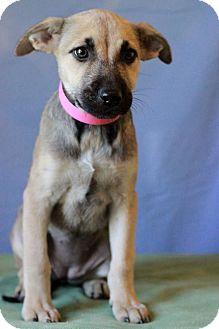 Labrador Retriever/German Shepherd Dog Mix Puppy for adoption in Waldorf, Maryland - Bailey # 5223