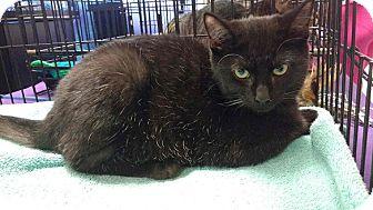 Domestic Shorthair Cat for adoption in Seminole, Florida - Jasmine