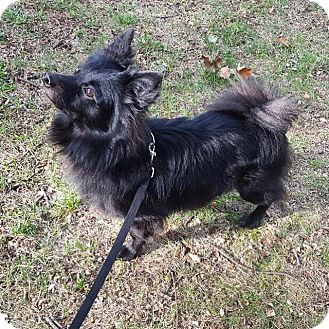 Pomeranian Mix Dog for adoption in Brooklyn, New York - Knight