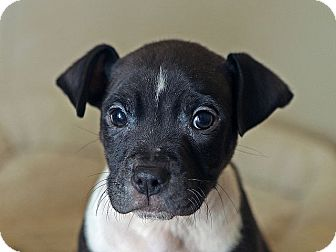 American Pit Bull Terrier Puppy for adoption in Berkeley, California - Clem