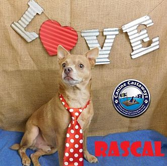 Chihuahua Mix Dog for adoption in Arcadia, Florida - Rascal