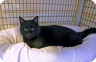 Domestic Shorthair Cat for adoption in Victor, New York - Sabrina