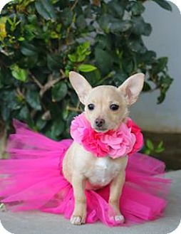 Dachshund/Chihuahua Mix Puppy for adoption in South El Monte, California - Violet