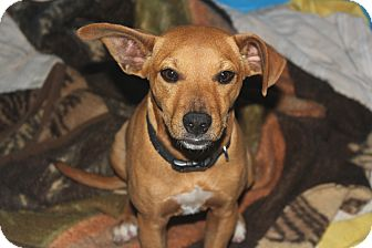 Black Mouth Cur Mix Puppy for adoption in Cuero, Texas - Tickle