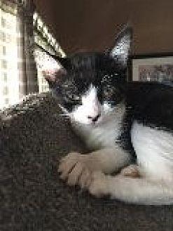 Domestic Shorthair Cat for adoption in La Canada Flintridge, California - Ellen