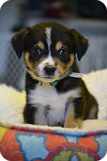 Australian Shepherd/Border Collie Mix Puppy for adoption in Hagerstown, Maryland - Henry