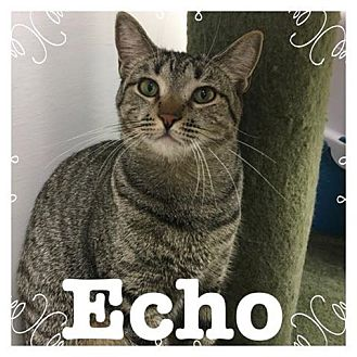Domestic Shorthair Kitten for adoption in Trevose, Pennsylvania - Echo