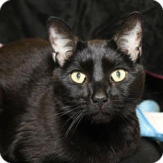 Domestic Shorthair Cat for adoption in Richmond, Virginia - Pechon