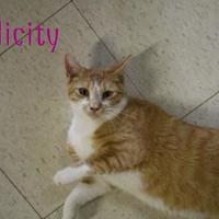 Domestic Shorthair/Domestic Shorthair Mix Cat for adoption in Converse, Texas - FELICITY