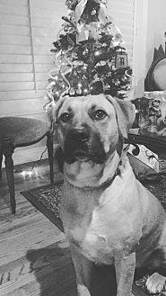 Rhodesian Ridgeback/Shepherd (Unknown Type) Mix Dog for adoption in San Dimas, California - Rex