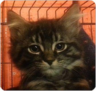 Domestic Longhair Cat for adoption in Alturas, California - Tootsie