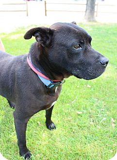 Pit Bull Terrier/Shar Pei Mix Dog for adoption in Chino Valley, Arizona - Spike