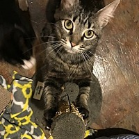 Adopt A Pet :: Muffin - Issaquah, WA