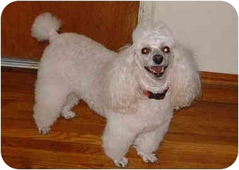 Poodle (Miniature) Dog for adoption in San Diego (all areas), California - Toby