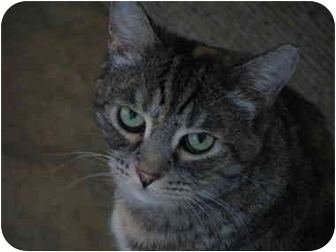 Domestic Shorthair Cat for adoption in Moses Lake, Washington - Mollie